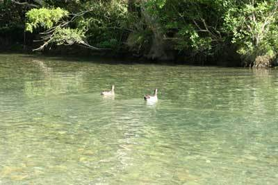 鴨の夫婦1.jpg