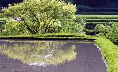 水田にハる樹.jpg
