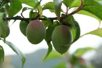 梅の木.jpg