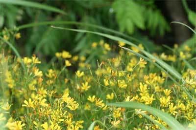 黄色のお花畑.jpg