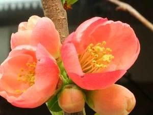 木瓜の花6.jpg